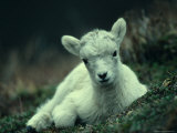 Dall Sheep Lamb Resting  Alaska