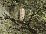 Juvenile Red-Tailed Hawk Perches in an Oak Tree
