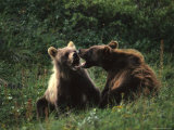 Grizzly Cubs Play Fighting  Alaska