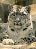 Frontal Portrait of a Snow Leopard's Face  Paws and Predators Stare  Melbourne Zoo  Australia