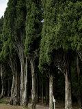 Italian Cypress Trees Line a Road in Tuscany  Italy