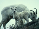 Dall&#39;s Sheep Lamb and Ewe  Alaska