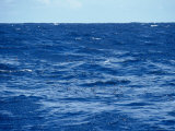 Flock of Wilsons Storm Petrels Feeding on the Ocean Surface  Australia