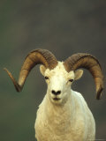 Full Curl Dall&#39;s Sheep Ram  Alaska