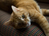 Domestic Cat Lies on a Couch in a Home in Lincoln  Nebraska