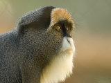 Debrazza's Monkey at the Sedgwick County Zoo  Kansas
