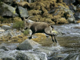 Ibex Jumping over a Creek
