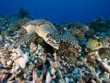 Green Sea Turtle with Coral  French Polynesia