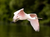 Juvenile Roseate Spoonbill in Flight  Tampa Bay  Florida