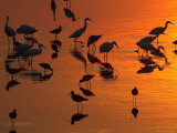 Great Egrets  Yellow Legs  and Snowy Egrets Feed in the Sunset