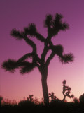 Joshua Trees with Colored Gel  California