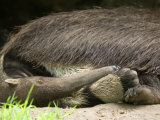 Giant Anteater at the Sunset Zoo