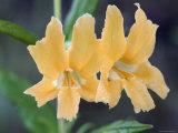 Common Monkey Flower Closeup  California