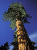 Giant Sequoias in Sequoia National Park  California