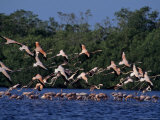 Flock of Flamingos Taking Flight  Yucatan  Mexico
