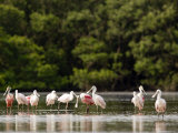 Juvenile and Adult Roseate Spoonbills  Resting  Tampa Bay  Florida
