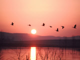 Flock of Canada Geese Flying over a Lake at Sunset  Pennsylvania
