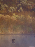 Eurasion Coot Greets the Dawn in a Still  Misty Wetland Fog  Coorong National Park  Australia