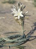 Desert Lily Blooming in the Sand  California