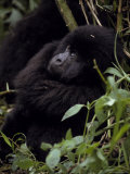 Endangered Mountain Gorilla Peers Through the Rainforest Foliage