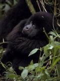 Endangered Mountain Gorilla Peers Through the Rainforest Foliage