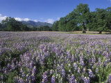 Fields of Lupine and Owl Clover in the Valley Oak Trees near Indians  California
