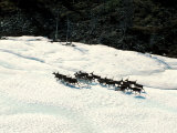 Herd of Wild Reindeer in a Snowy Landscape