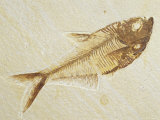 Fish Fossil  Diplomystus Dentatus  from the Eocene Period  Australia