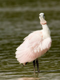 Juvenile Roseate Spoonbill  Looking at the Camera  Tampa Bay  Florida