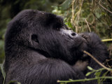 Endangered Male Silverback Mountain Gorilla Feeding in the Forest