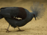 Crowned Pigeon from the Omaha Zoo  Nebraska