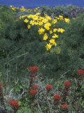 Giant Coreopsis and Indian Paintbrush  California