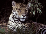Jaguar Portrait of Face and Ears  Beautiful Fur Coat Markings  Australia