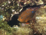 Juvenile Garibaldi Damselfish Hiding in Rocks  California