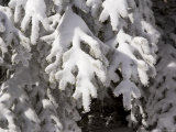Detail of Snow on Conifer Branches
