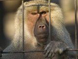Hamadryas Baboon from the Sedgwick County Zoo  Kansas