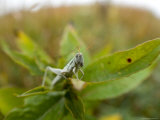 Cudweed Grasshopper at Spring Creek Prairie