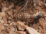 Gila Monster  Heloderma Suspectum  Out on an Evening Forage