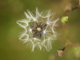 Dandelion at Spring Creek Prairie in Nebraska