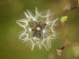 Dandelion at Spring Creek Prairie in Nebraska