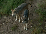Endangered Mexican Gray Wolves at the Zoo