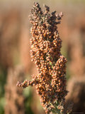 Grain Sorghum Found in Grand Island  Nebraska