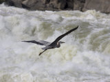 Great Blue Heron Flies over White Water Rapids