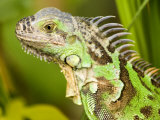 Green Iguana  Belize