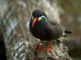 Inca Tern at the Sedgwick County Zoo