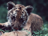 Four-Month-Old Bengal Tiger Cub in an American Zoo