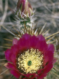 Detail Bloom of a Hedgehog Cactus