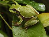 Endangered Pine Barrens Treefrog Hops Onto a Leaf