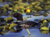 Common Loon on Bottenintnin Lake  Alaska