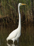 Great Egret Forages in a Canal